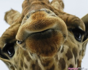 Girafe_gros_plan_humour